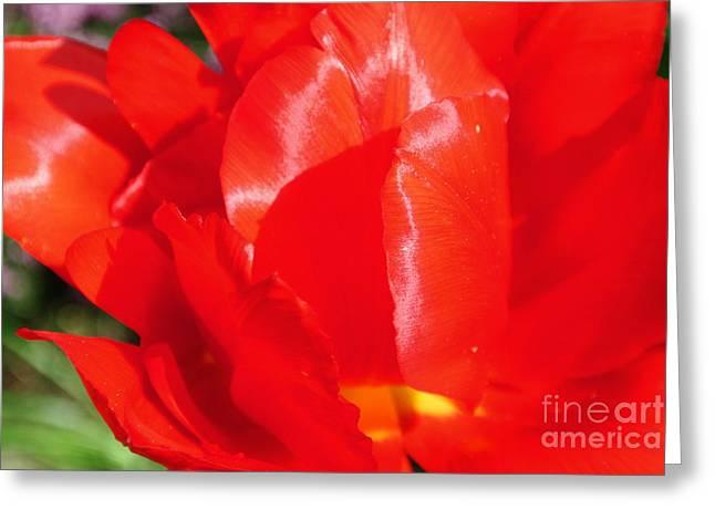 Shining Tulip Greeting Card