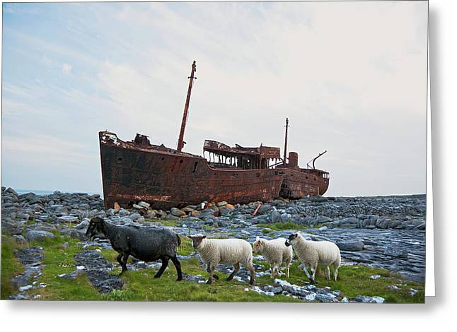 Shipwreck On Shore And Sheep Walking Greeting Card by Carl Bruemmer
