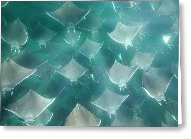 Shoal Of Smoothtail Mobula Rays Greeting Card by Christopher Swann