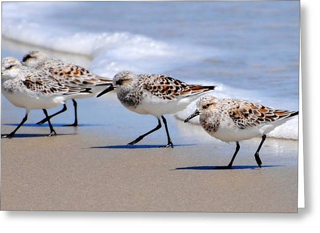 Shorebird Quartet Greeting Card