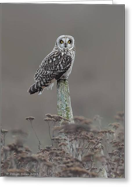 Short Ear Owl Greeting Card by Daniel Behm