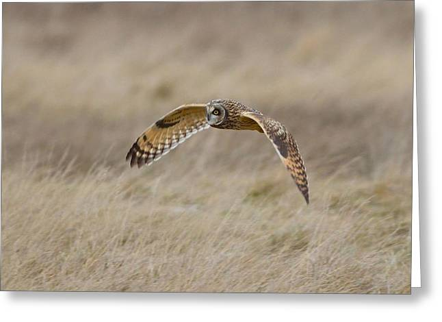 Short-eared Owl In Flight Greeting Card