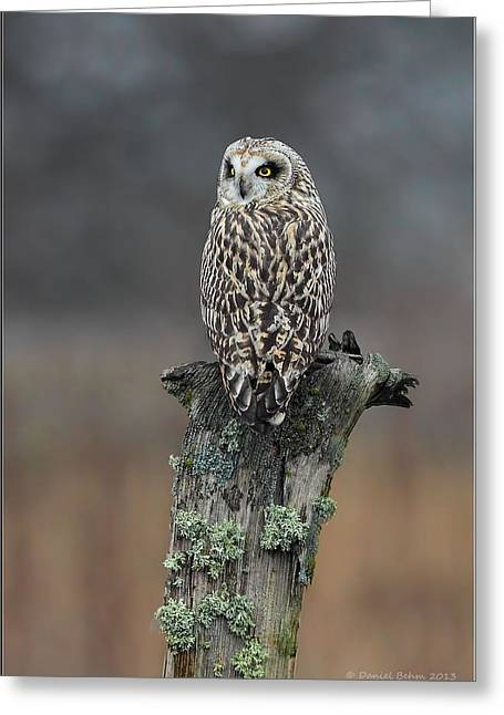 Short Eared Owl Perched Greeting Card by Daniel Behm