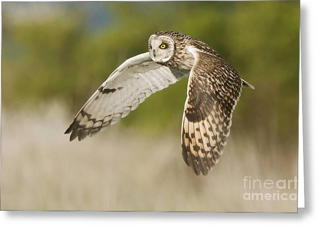 Short-eared Owl Greeting Card by Robert Canis FLPA