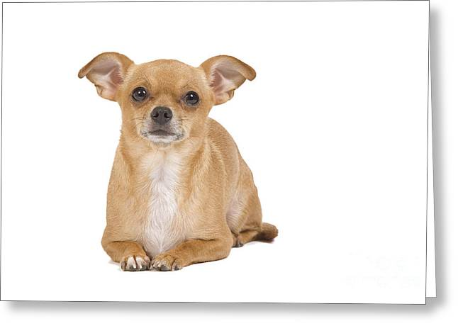Short-haired Chihuahua Greeting Card by Jean-Michel Labat