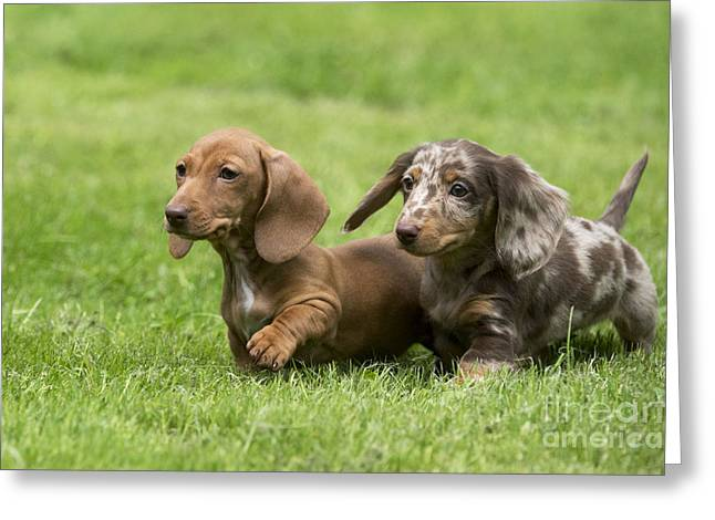 Short-haired Dachshund Puppies Greeting Card by John Daniels