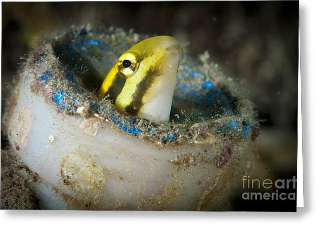 Short-head Sabretooth Blenny Peering Greeting Card