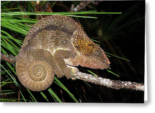 Short-horned Chameleon Greeting Card by Dr P. Marazzi