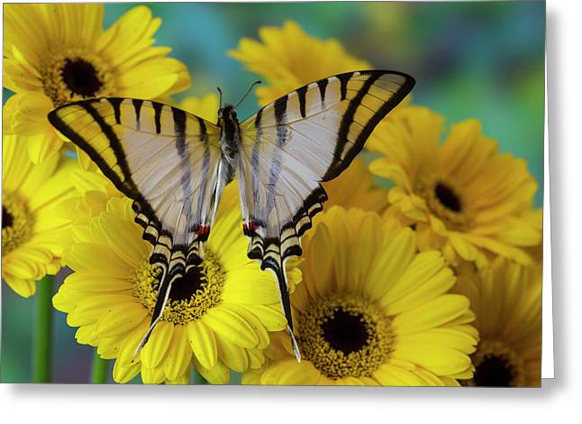 Short-lined Kite Swallowtail Butterfly Greeting Card by Darrell Gulin