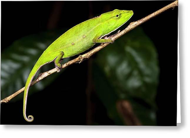 Short-nosed Chameleon Greeting Card