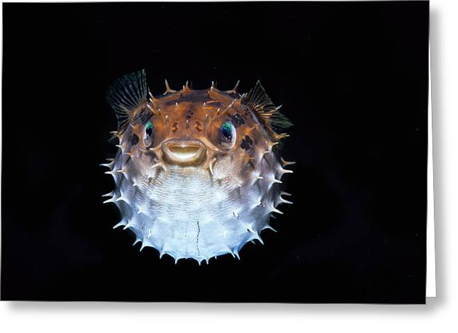 Short-spined Porcupinefish Greeting Card