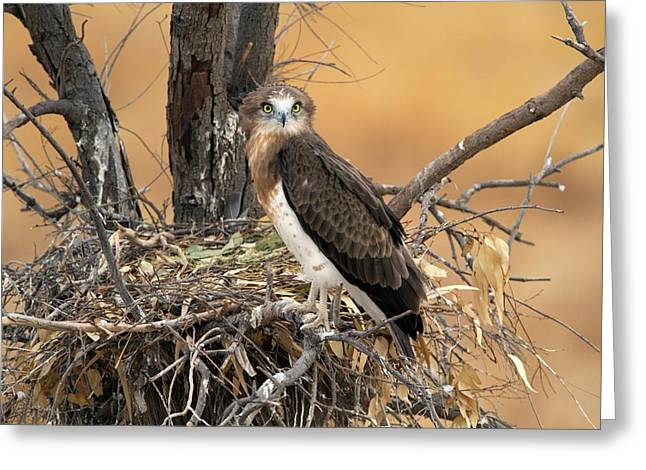 Short-toed Snake Eagle Circaetus Gallicus Greeting Card