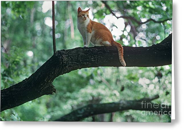 Shorthair Cat Greeting Card by James L. Amos