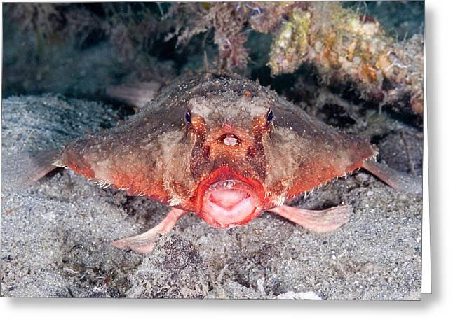 Shortnose Batfish Greeting Card