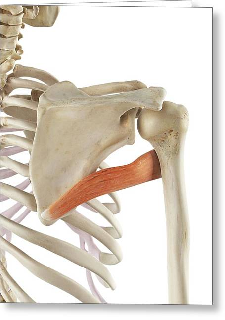 Shoulder Muscle Greeting Card