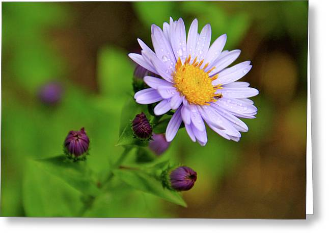 Showy Aster Greeting Card by Ed  Riche