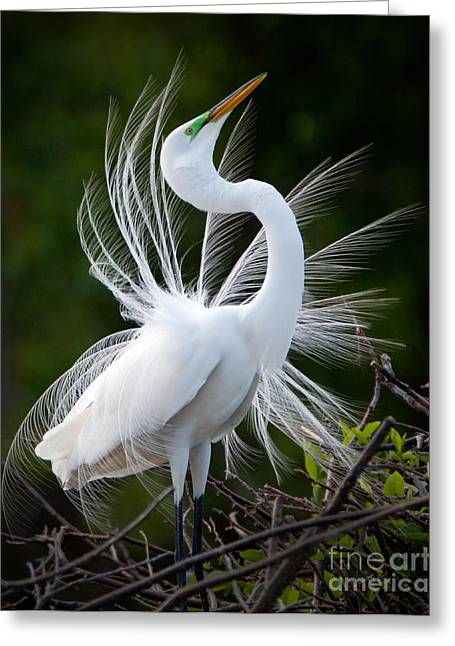 Showy Egret Greeting Card