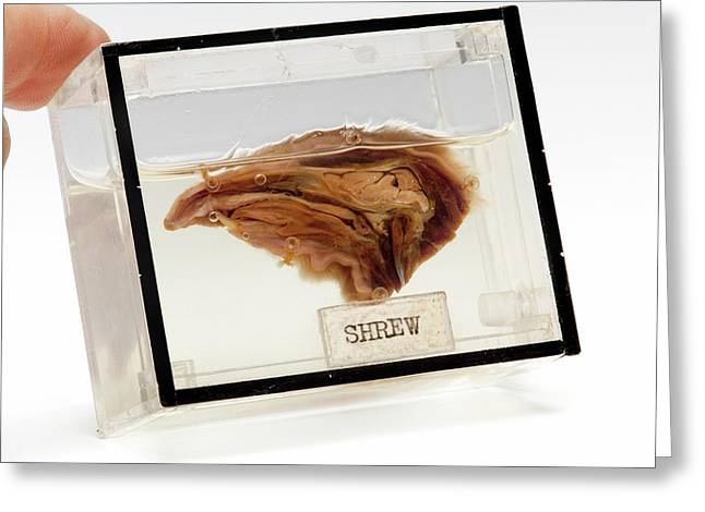 Shrew Head Greeting Card by Ucl, Grant Museum Of Zoology
