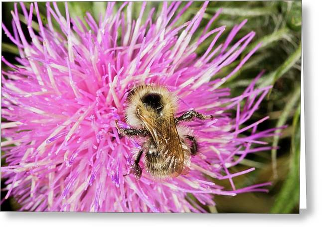 Shrill Carder Bee On Knapweed Flower Greeting Card by Bob Gibbons
