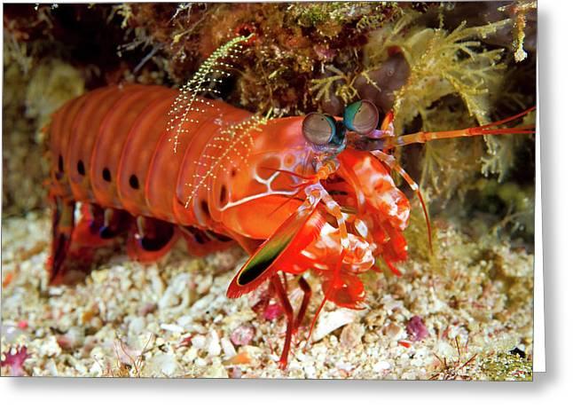 Shrimp On Ocean Floor, Raja Ampat Greeting Card by Jaynes Gallery