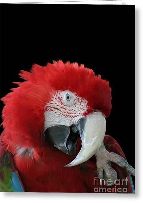 Shy Macaw Greeting Card by Judy Whitton