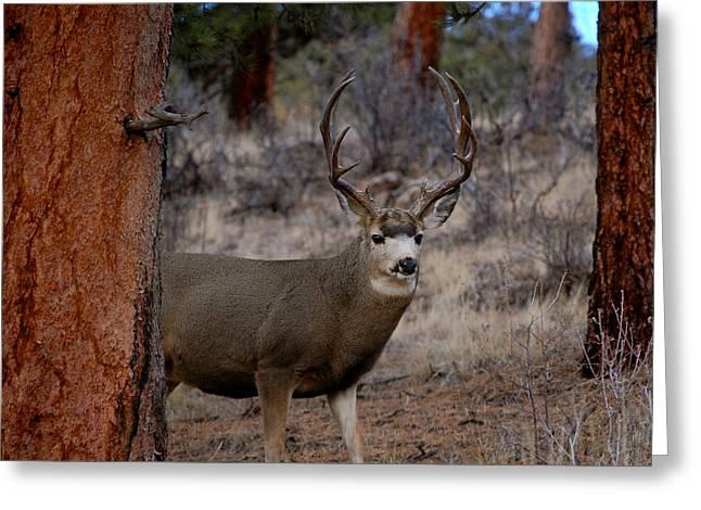 Shy Mule Deer Greeting Card by Sherlyn Morefield Gregg