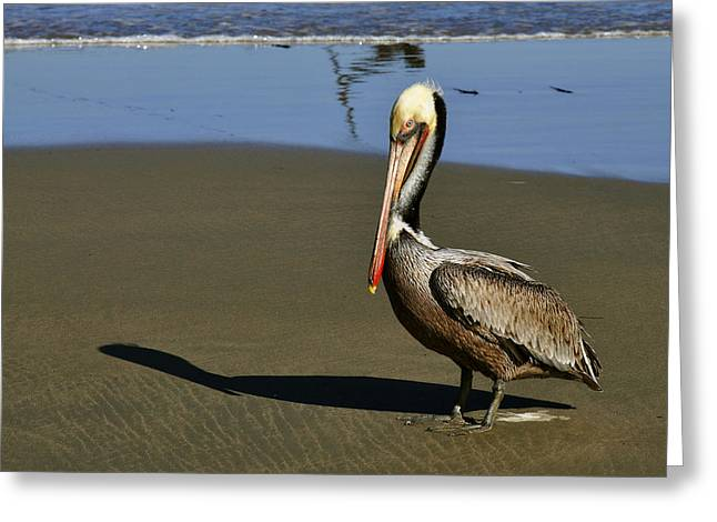 Shy Pelican Greeting Card by Gandz Photography