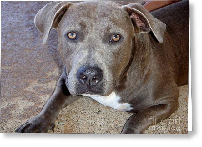 Shy Pit Bull Puppy Greeting Card by Mary Deal