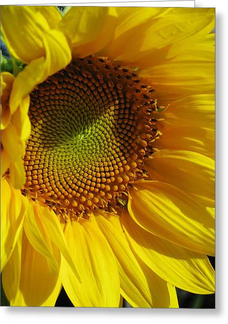 Shy Sunflower Greeting Card by Laura Corebello