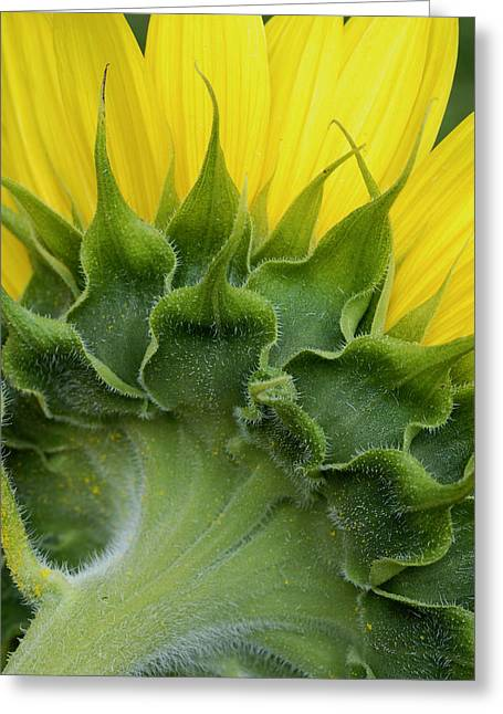 Shy Sunflower Greeting Card