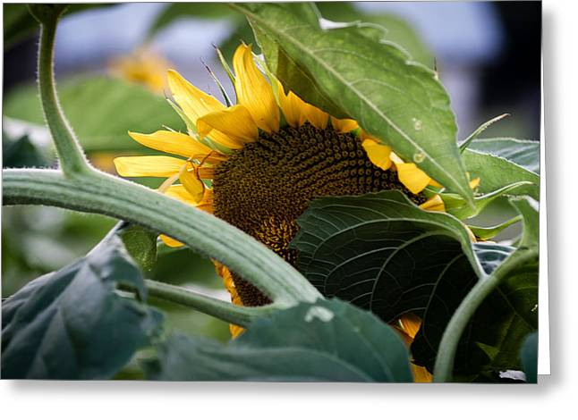 Greeting Card featuring the photograph Shy Sunflower by Wayne Meyer