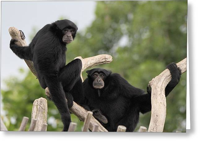 Siamang Monkeys Greeting Card by Dan Sproul