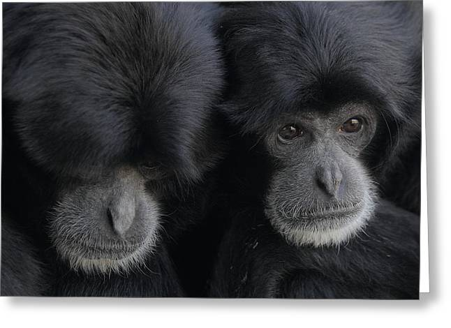 Siamang Pair Greeting Card