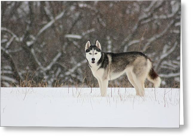 Greeting Card featuring the photograph Siberian Husky 20 by David Dunham