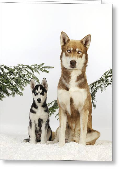 Siberian Husky And Puppy Greeting Card by John Daniels