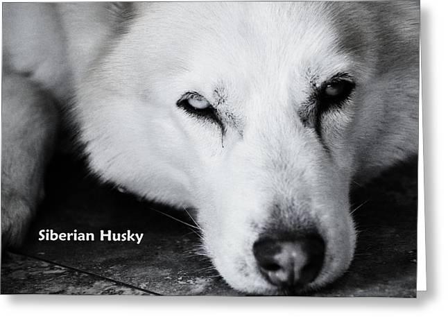 Siberian Husky  Greeting Card by Lisa  DiFruscio