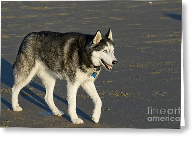 Siberian Husky Walking On Beach Greeting Card