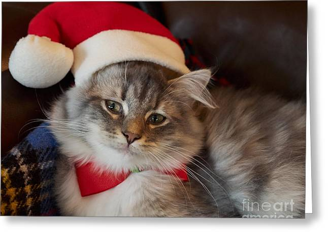 Siberian Kitten At Christmas Greeting Card by Louise Heusinkveld