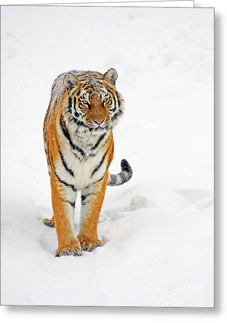 Siberian Tiger Animal Greeting Card by Boon Mee