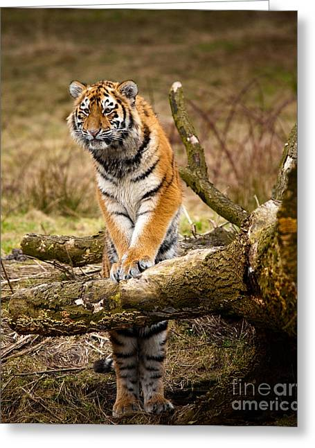 Siberian Tiger Greeting Card by Boon Mee