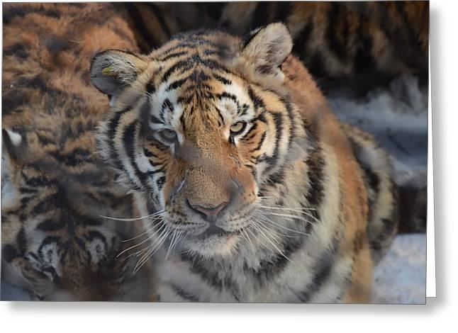 Siberian Tiger Greeting Card by Brett Geyer