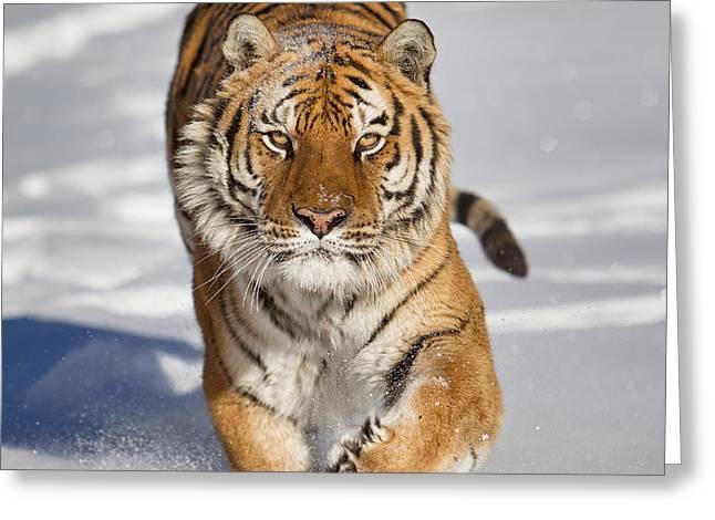 Siberian Tiger Coming Forward Greeting Card