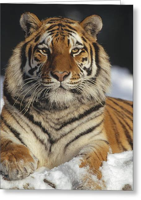 Siberian Tiger Portrait In Snow China Greeting Card