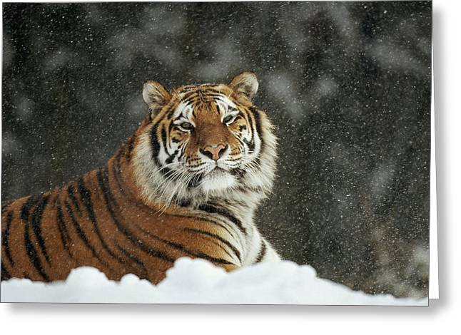 Siberian Tiger Portrait In Snow Storm Greeting Card