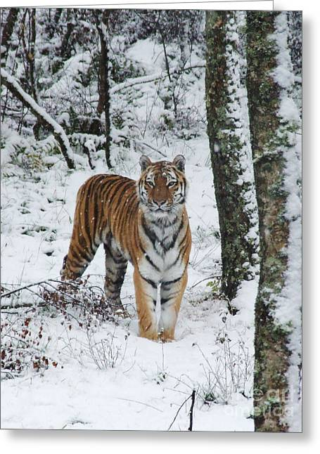 Siberian Tiger - Snow Wood Greeting Card
