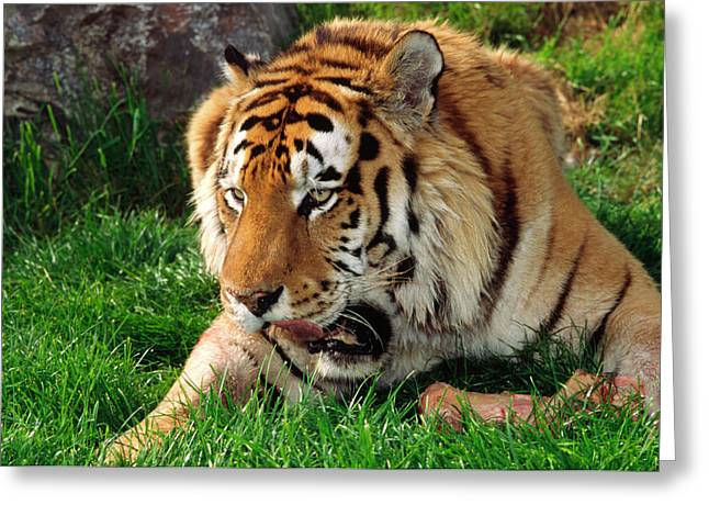 Siberian Tiger With Food Greeting Card