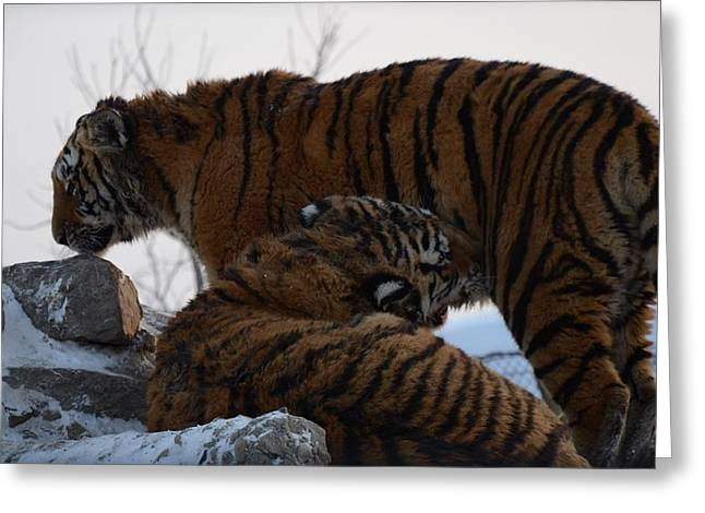 Siberian Tigers Greeting Card by Brett Geyer