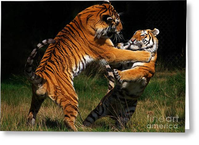 Siberian Tigers In Fight Greeting Card by Nick  Biemans