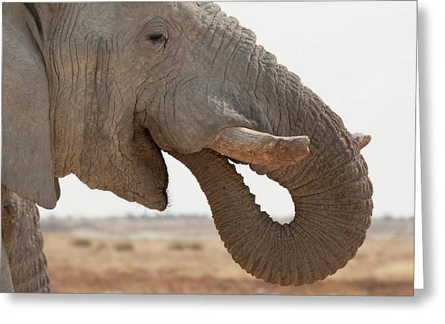 Side Portrait Of African Elephant Greeting Card