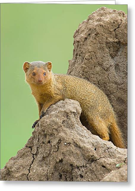Side Profile Of A Dwarf Mongoose Greeting Card by Panoramic Images